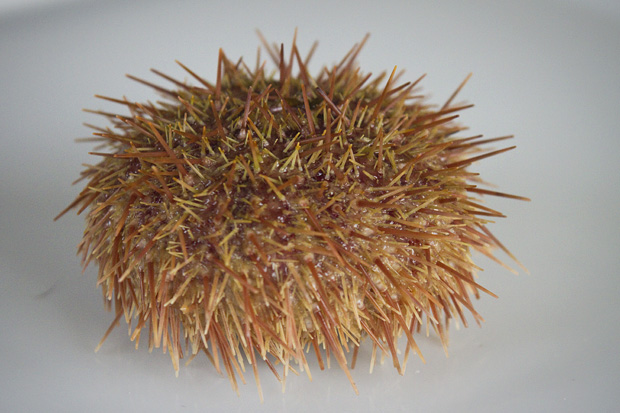 How to Clean a Sea Urchin